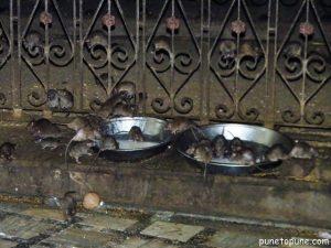 Rats enjoying Milk